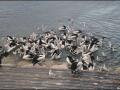 Kingscote - Pelicans Feeding