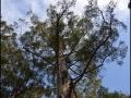 wa-diamondtree-04
